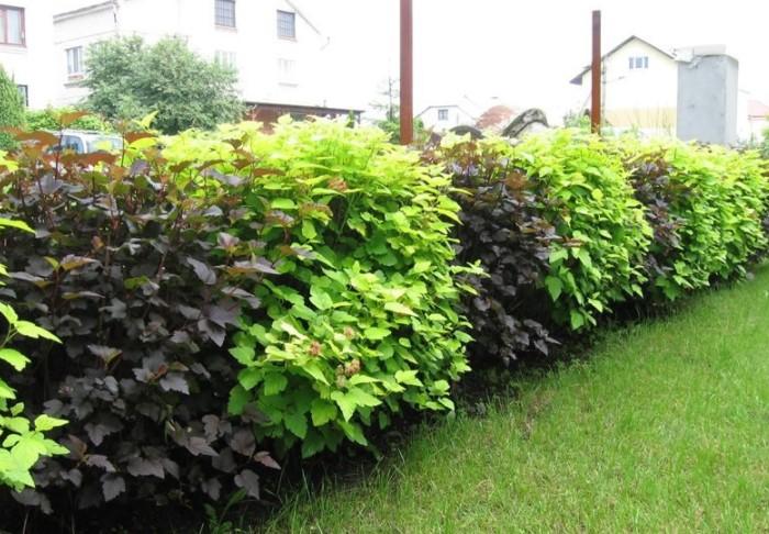Сорта кустарника также можно миксовать в одной изгороди / Фото: i.mycdn.me