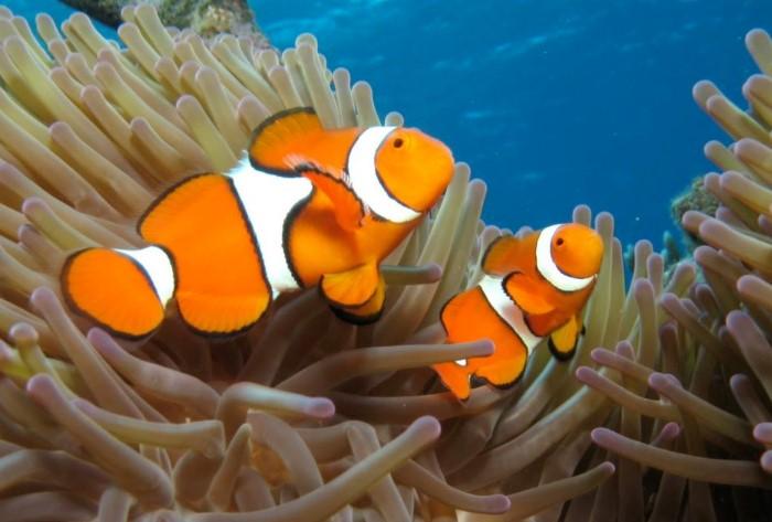 Природа наделила рыб-клоунов уникальными свойствами - возможностью сменить пол / Фото: kotsobaka.com