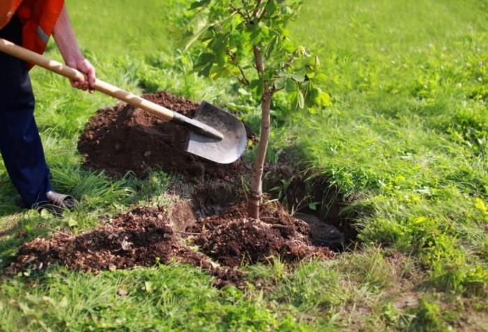 Неправильная посадка саженца помешает растению правильно развиваться, что в итоге приведет к проблемам / Фото: plotina.in.ua