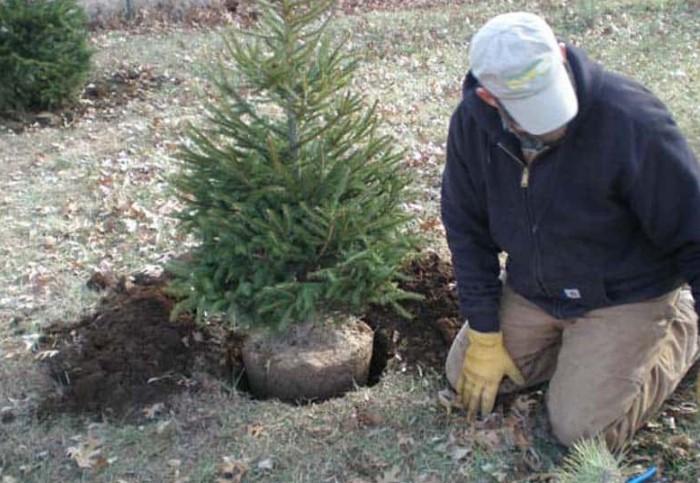 Если высадить хвойное дерево на даче, сможете наслаждаться его ароматом намного дольше, чем праздники / Фото: kursi-floristiki.ru