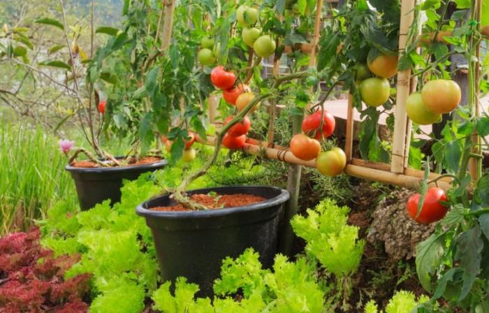 Соседство салата и томатов - выгодный тандем / Фото: superdom.ua
