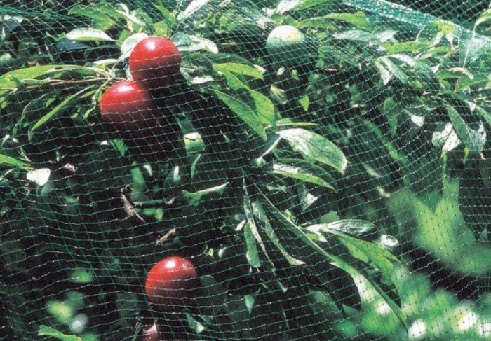 Если отпугивать пернатых не получается, можно закрыть им доступ к урожаю / Фото: agrosyntetica.com.ua