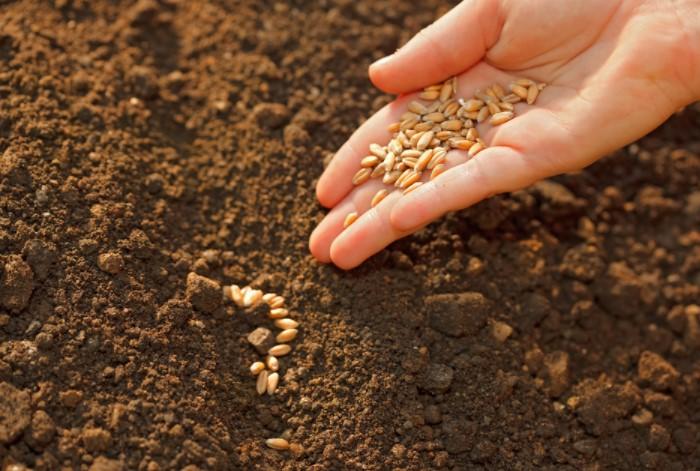 Обработайте пшеницу, ячмень, кукурузу, овес в инсектициде и посейте на огороде / Фото: prosad.ru