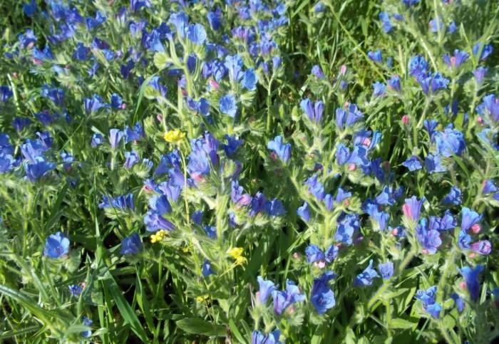 Голубые цветочки формируют небольшие соцветия, которые раскрываются в начале июля и держатся почти до конца осени / Фото: ic.pics.livejournal.com