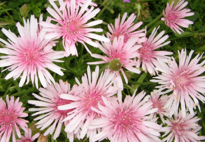 Скерда раскрывается в начале июля и радует цветением до осени / Фото: 1.bp.blogspot.com