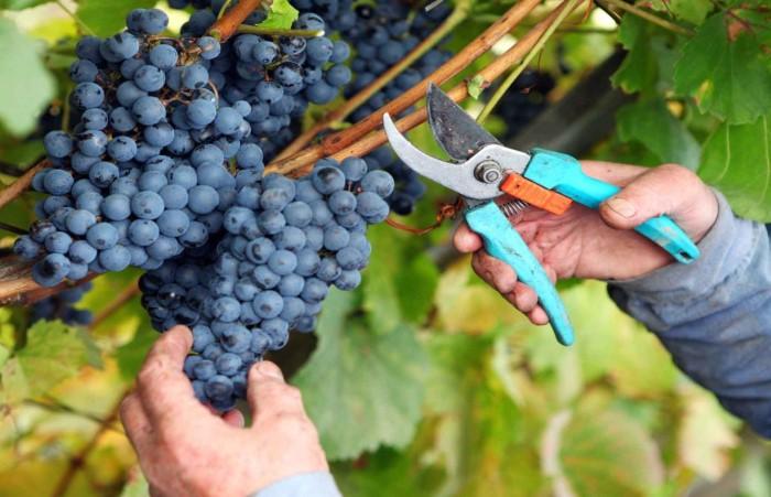 В Северном полушарии урожай собирают в августе-октябре, а в Южном - в феврале-марте / Фото: partygorsk.com