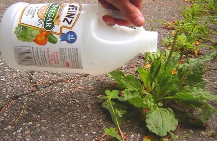 Уксусная кислота работает не хуже химикатов, зато безопасна для животных и людей / Фото: filife.ru