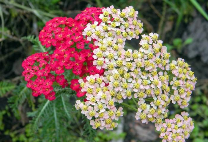 Самый распространенный цвет - белый, но также тысячелистник бывает розовым, голубым, лиловым, желтым / Фото: pic.rutube.ru