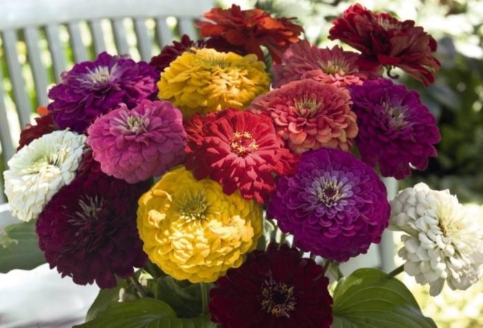 Ближе к концу весны циннии можно высаживать в сад / Фото: i.mycdn.me