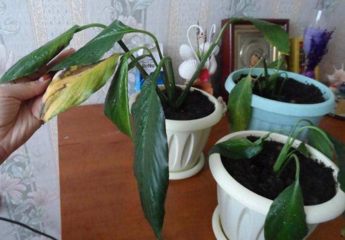Как избавить комнатные растения от мошек