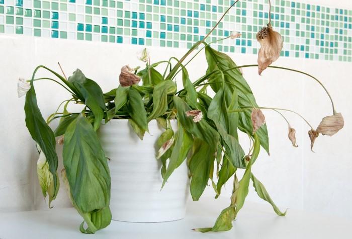 Завявшие растения создают неблагоприятную энергию в доме / Фото: ogorodic.ru
