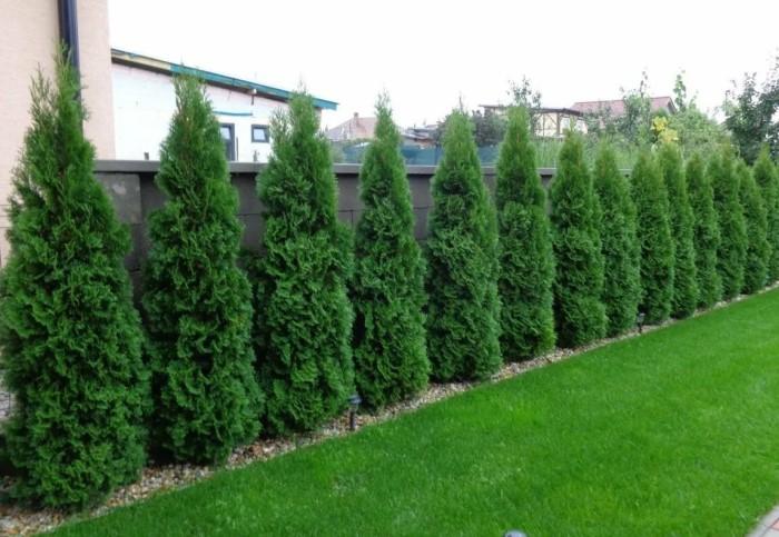 Из растений можно формировать как невысокий бордюр в 30-40 см, так и зеленую трехметровую стену/ Фото: domashniecvety.ru