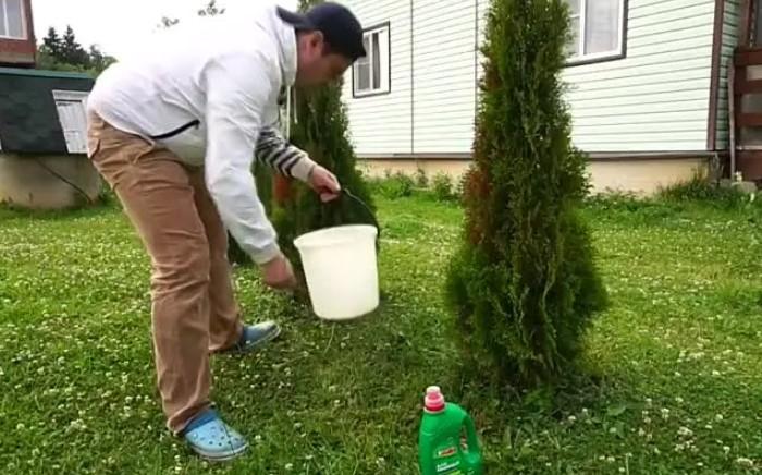 Пострадавшие хвойные деревья нужно подкармливать минеральными удобрениями / Фото: i.mycdn.me