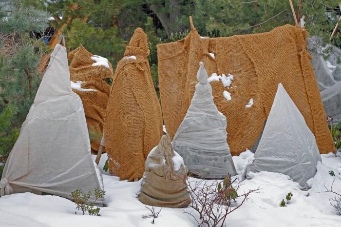 Укрытым хвойным будет проще адаптироваться при наступлении тепла / Фото: diz-cafe.com