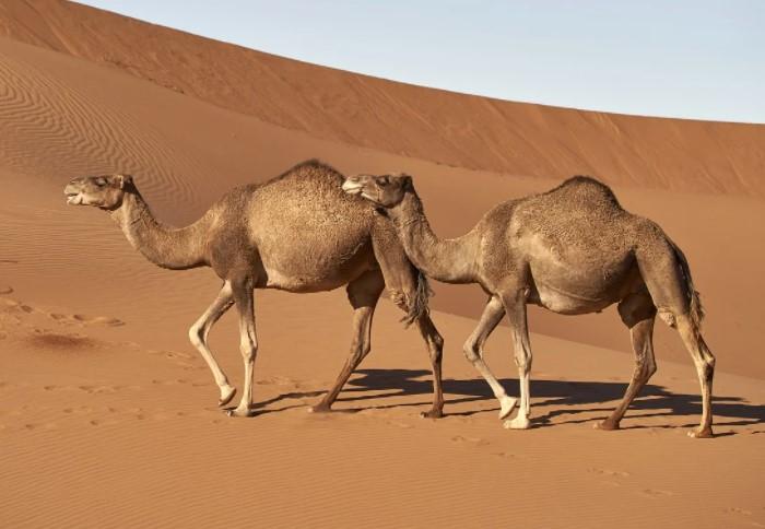 B горбе копится жир, который заменяет верблюду пищу во время долгих путешествий на большие расстояния / Фото: cdn.pixabay.com