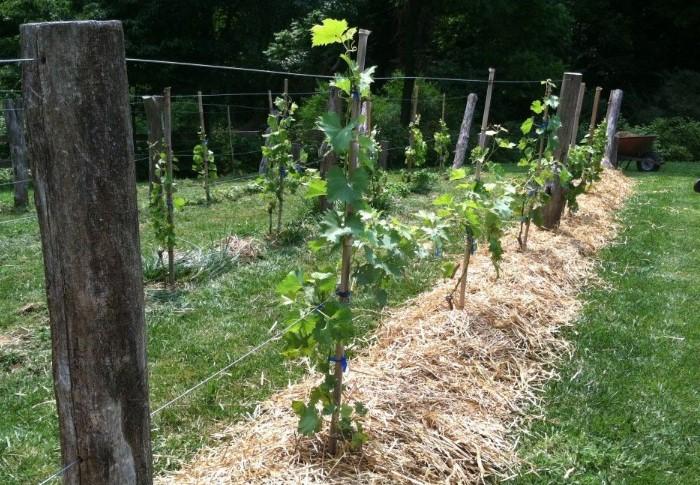 При выборе сорта винограда учитывайте особенности своего региона / Фото: i.pinimg.com
