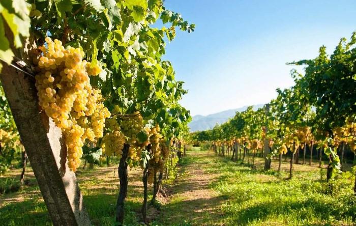 На вкус винограда влияет климат страны, состав почвы и природный ландшафт / Фото: kubanmakler.ru