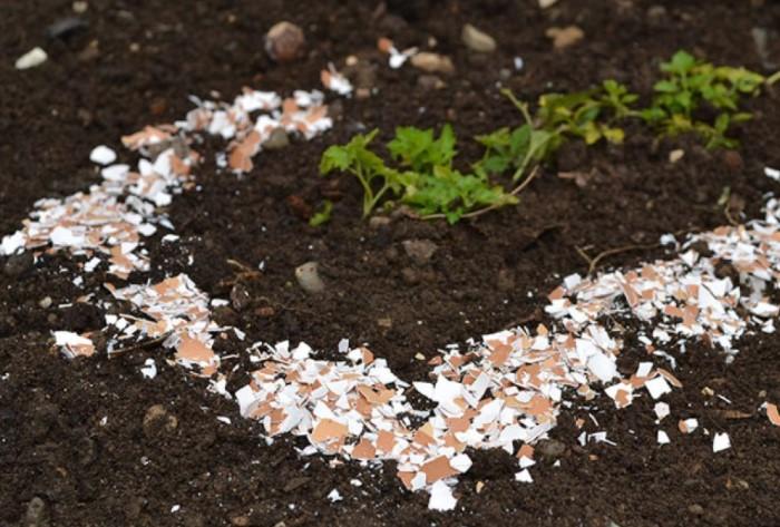 Разложите по всему участку измельченную яичную скорлупу / Фото: poleznosti-ok.ru