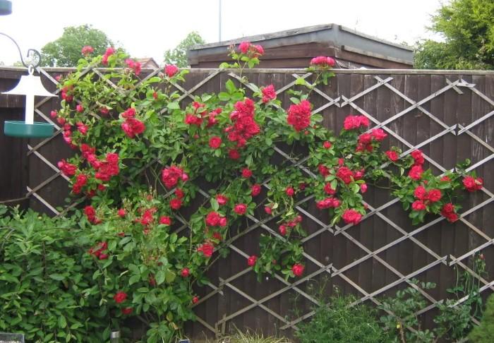 Розы смогут дорасти до нужной высоты лишь через пару лет, однако потом будут радовать обильным цветением / Фото: pl.pinterest.com