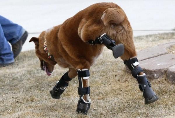 Чудеса ортопедии собака на четырех