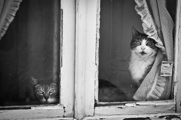 Домашние кошки, смотрящие в окно.