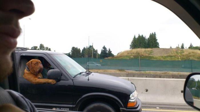 Не каждый день можно увидеть на дороге собаку, ведущую автомобиль.