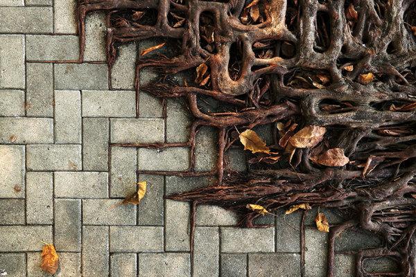 Корни деревьев, выживающих в городских условиях.