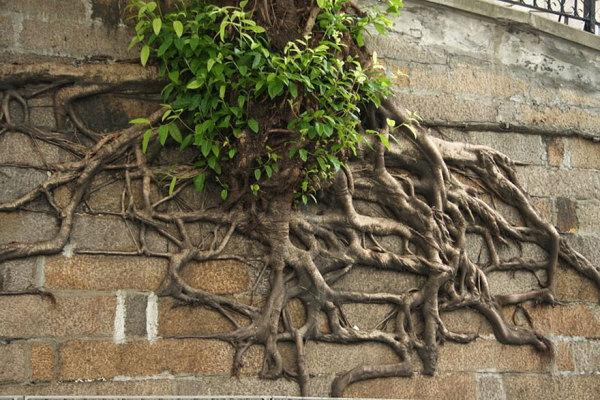 Красивые корни деревьев.