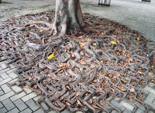 Хитросплетение корней.