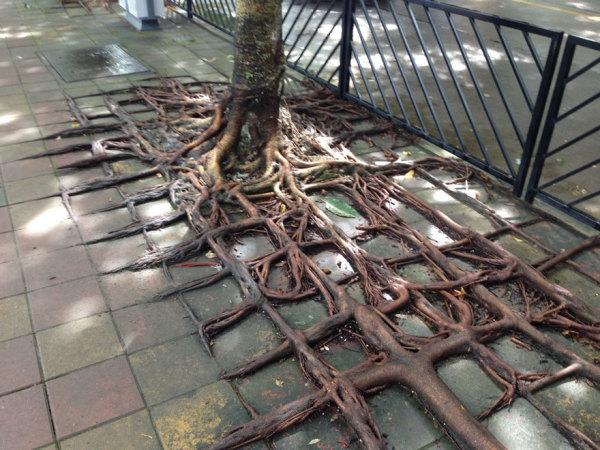 Кружево корней деревьев.