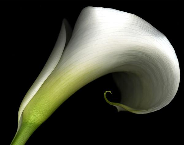 Цветок Калла, как источник вдохновления