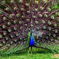 Болгарские павлины – притяжение для туристов
