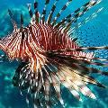 Робот-убийца займется уничтожением инвазивных крылаток, угрожающих экосистеме Карибского моря
