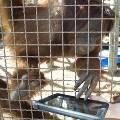 Орангутанги осваивают iPad