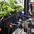 В США создали роботов для сбора клубники