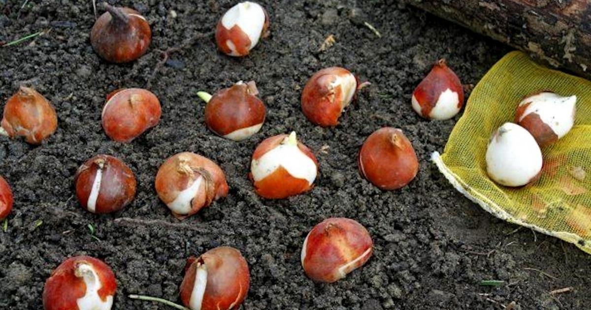 В чем замочить луковицы тюльпанов перед посадкой